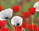 Remembrance Day, Nov 11