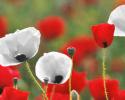 Remembrance Day, Nov 11